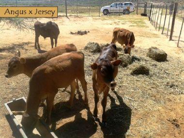 pin tuli cattle crossbreeds - photo #35