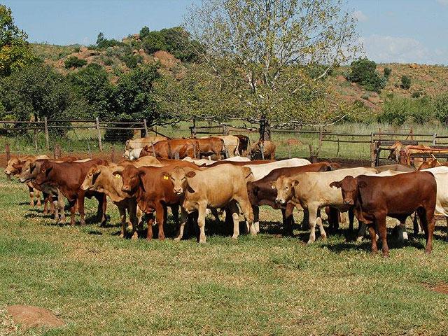 pin tuli cattle crossbreeds - photo #24