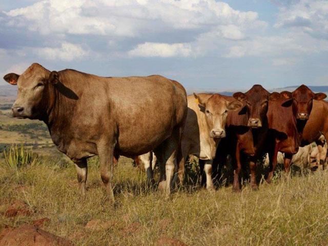 pin tuli cattle crossbreeds - photo #20